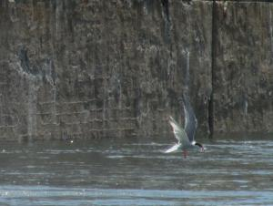 A tern with a fish in its mouth over the water by a wall